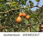Cyphomandra Betacea Fruit