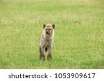 young hyena in savannah | Shutterstock . vector #1053909617