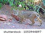 Bobcat On The Prowl In Sedona ...