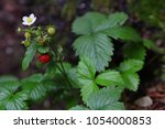 Tiny Red Wild Strawberry With...