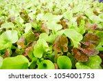 background of fresh lettuce...   Shutterstock . vector #1054001753