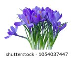 blue crocuses on a white... | Shutterstock . vector #1054037447