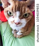 Small photo of Creepy and weird but cute devon rex cat looking into camera (portrait)
