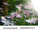 Small photo of Arctotis grandis, blue or violet in the middle