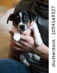 Small photo of Puppies of jack Russell terrier family with dog mother feeding all together and alone three color sitting looking straight black holding hands