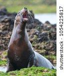 Small photo of Sea Lion female , Patagonia Argentina