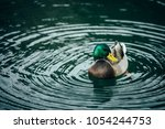 Small photo of green grey duck quack is in the blue Lake Tahoe