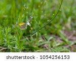 side view of dainty sulphur... | Shutterstock . vector #1054256153