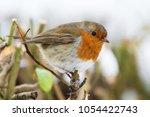 european robin  erithacus... | Shutterstock . vector #1054422743