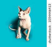 cat of the canadian sphynx... | Shutterstock . vector #1054446413