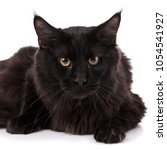 Stock photo black maine coon cat with long brown wavy hair lying in front of white background 1054541927