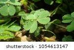 creeping lady's sorrel  oxalis  ...   Shutterstock . vector #1054613147