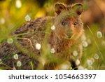a quokka  setonix brachyurus ... | Shutterstock . vector #1054663397
