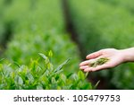 fresh tea leaves in the hand... | Shutterstock . vector #105479753