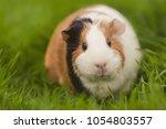 Funny Guinea Pig Eating Grass...