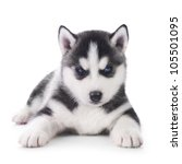 Cute little husky puppy - stock photo