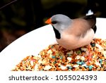 the long tailed finch ...   Shutterstock . vector #1055024393