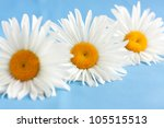 Three White Daisies On A Blue...