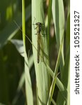 Small photo of a female banded agrion also known as banded demoiselle or agrion splendens resting on a reed leaf
