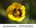 Small photo of two bees collect pollen.