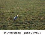 gray heron with prey in its beak | Shutterstock . vector #1055249537
