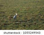 gray heron with prey in its beak | Shutterstock . vector #1055249543