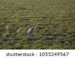 gray heron with prey in its beak | Shutterstock . vector #1055249567