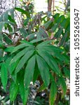Small photo of green leaves of saraca declinata fabaceae tree