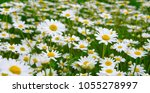 White Daisy On Green Field
