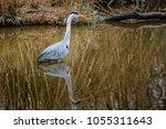 ardea cinerea in natural habitat | Shutterstock . vector #1055311643