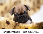 puppy of the french bulldog   Shutterstock . vector #1055330963