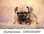 puppy of the french bulldog   Shutterstock . vector #1055331047