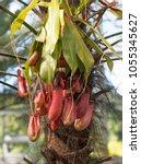 flower nepenthes  predatory... | Shutterstock . vector #1055345627