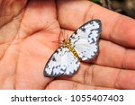 Small photo of Close up of Abraxas sp. (Magpie) moth perching on human hand, dorsal view