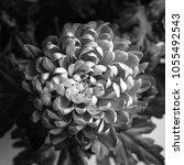big magnificent dainty flower... | Shutterstock . vector #1055492543
