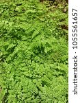 Small photo of maiden hair fern, adiantum