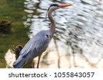 the grey heron  ardea cinerea   ... | Shutterstock . vector #1055843057