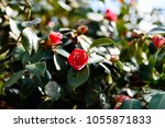 roses are blooming on the bush | Shutterstock . vector #1055871833