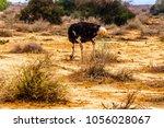 male ostrich at an ostrich farm ...