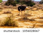 Male Ostrich At An Ostrich Far...