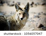 Coyote. Close Up Of A Desert...