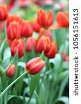 Small photo of The tulips blossoming. A beautiful flower background with red tulips vertically. Macro. Tulipa. Liliaceae Family.