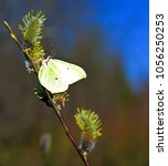 Small photo of common brimstone feeding on the nectar of pussy willows