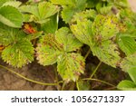 strawberry disease. leaf of... | Shutterstock . vector #1056271337