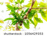 Small photo of Parasitic Plant or Mistletoe Tree (Dendrophthoe) is a parasite which lives and takes water and mineral from the tree in the park