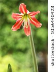 Small photo of red amaryllis flower