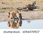 Lioness Drinking At A Waterhol...