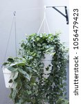 Small photo of Scindapsus and Hedera in white pots