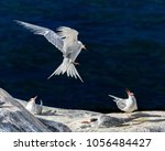 Small photo of One tern (bird) in-flight, about to land near two other terns on a rock