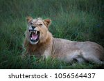 mighty lion watching the... | Shutterstock . vector #1056564437